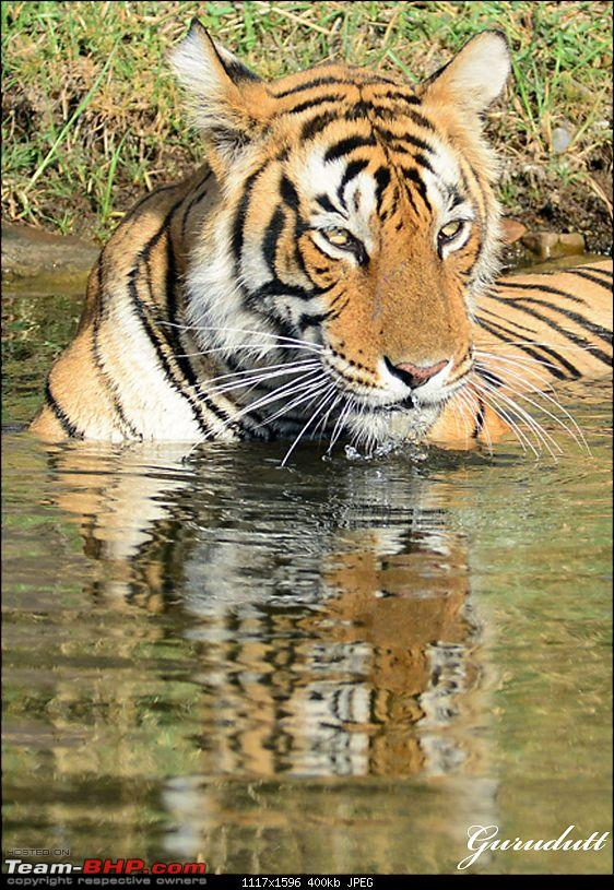 Gurgaon - Ranthambhore - Jodhpur - Gurgaon: Big Cats call again..!-0507_head.jpg