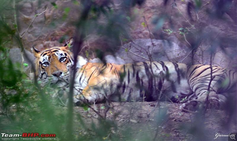 Gurgaon - Ranthambhore - Jodhpur - Gurgaon: Big Cats call again..!-0638.jpg