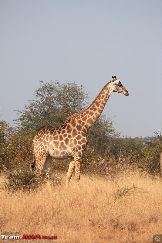 Splendid South Africa-kruger-giraffe-8.jpg