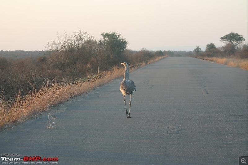 Splendid South Africa-kruger-kori-bustard.jpg