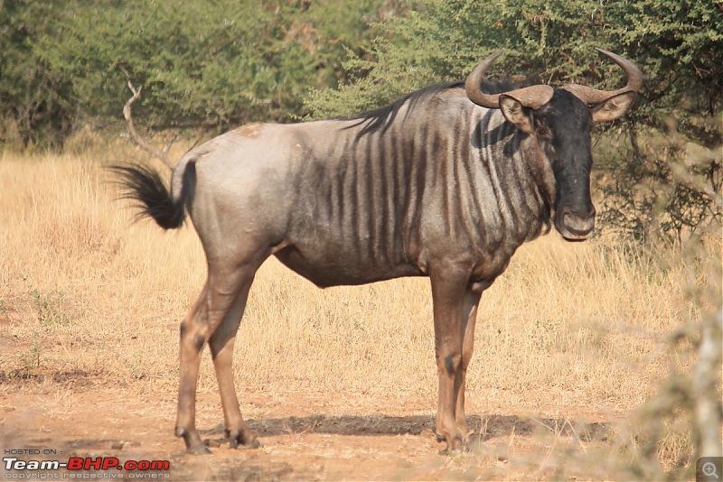 Splendid South Africa-kruger-wildebeest-1.jpg