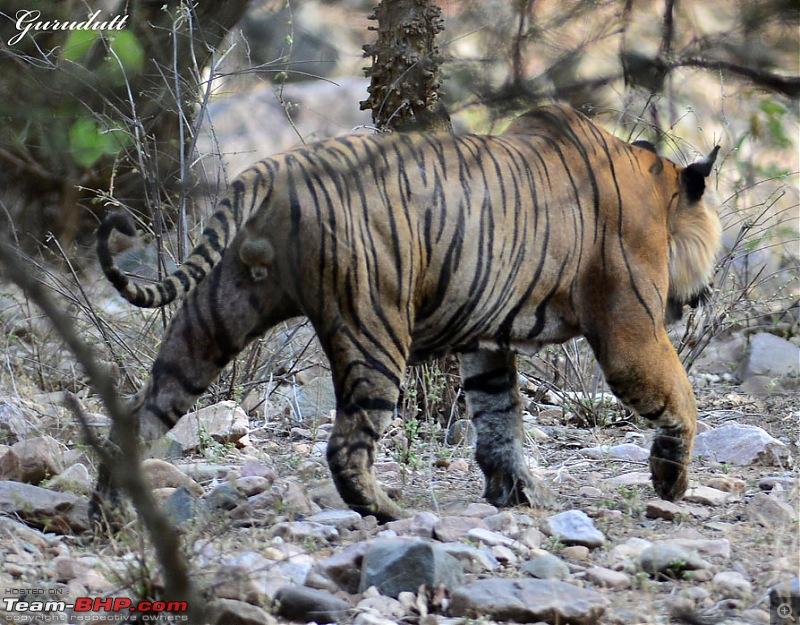 Gurgaon - Ranthambhore - Jodhpur - Gurgaon: Big Cats call again..!-0785.jpg