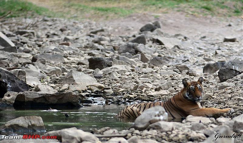 Gurgaon - Ranthambhore - Jodhpur - Gurgaon: Big Cats call again..!-1154.jpg