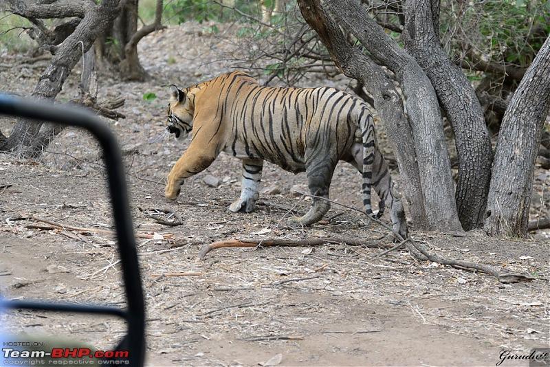 Gurgaon - Ranthambhore - Jodhpur - Gurgaon: Big Cats call again..!-4220.jpg