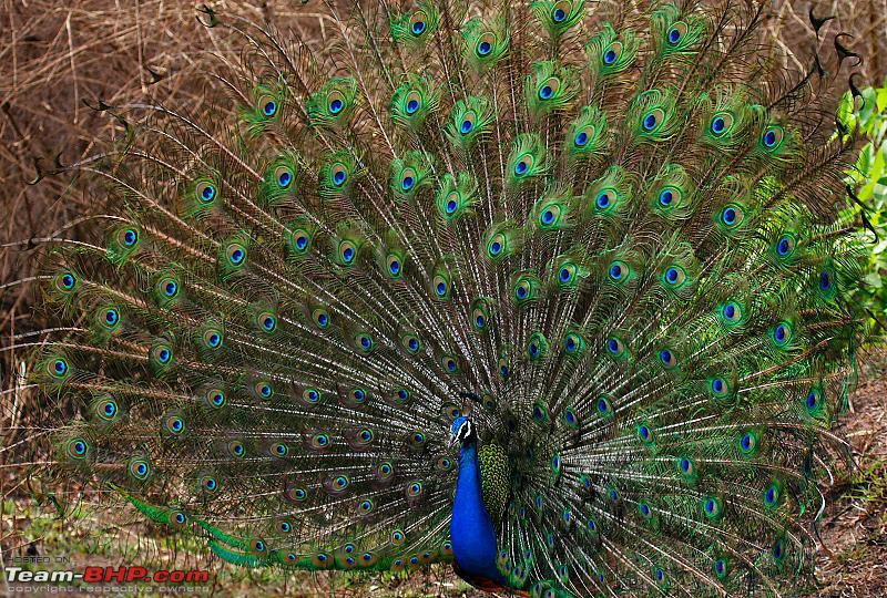 Name:  peacock dance2 cs4.jpg Views: 8503 Size:  892.5 KB