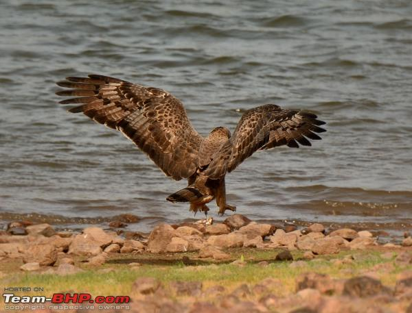 Name:  honey buzzard.jpg