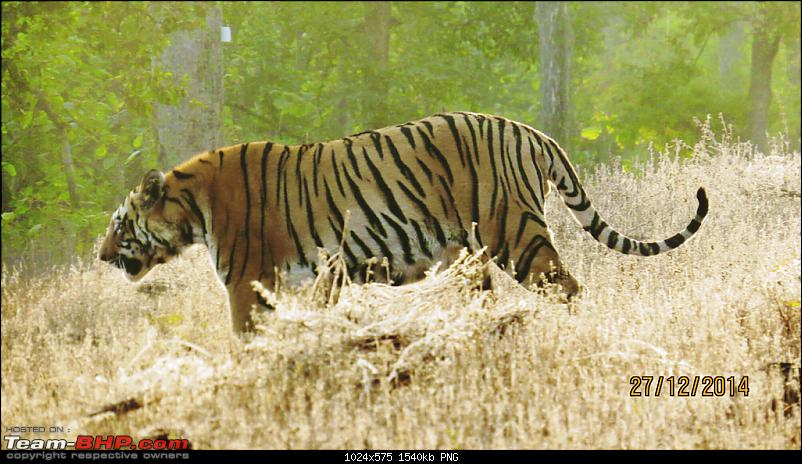 Tadoba: A Family's Winter Trip-tigerwaitandwatch.png
