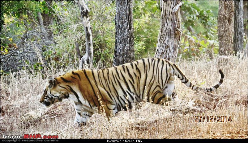 Tadoba: A Family's Winter Trip-tigermoving.png
