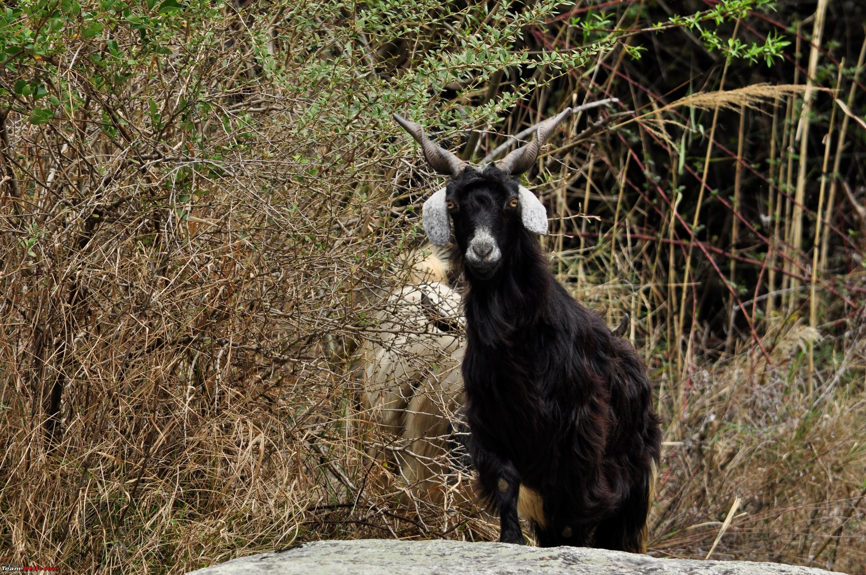 Tirthan valley a slice of inity goat1 jpg