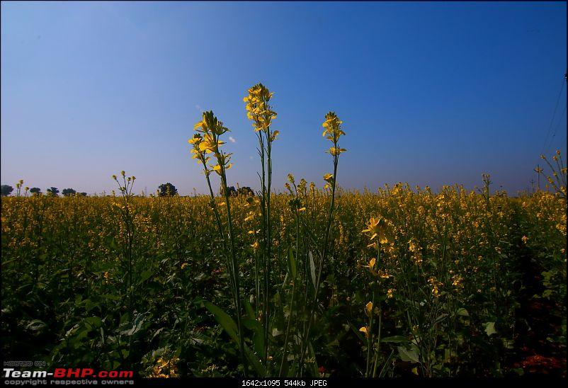 Kutch Expedition with a Mahindra Logan-yellow-fields-2.jpg