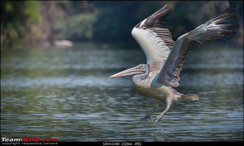 Photologue: Two hours @ Ranganathittu Bird Sanctuary. Drive to Mysore via Ooty-t6080x4028005025.jpg