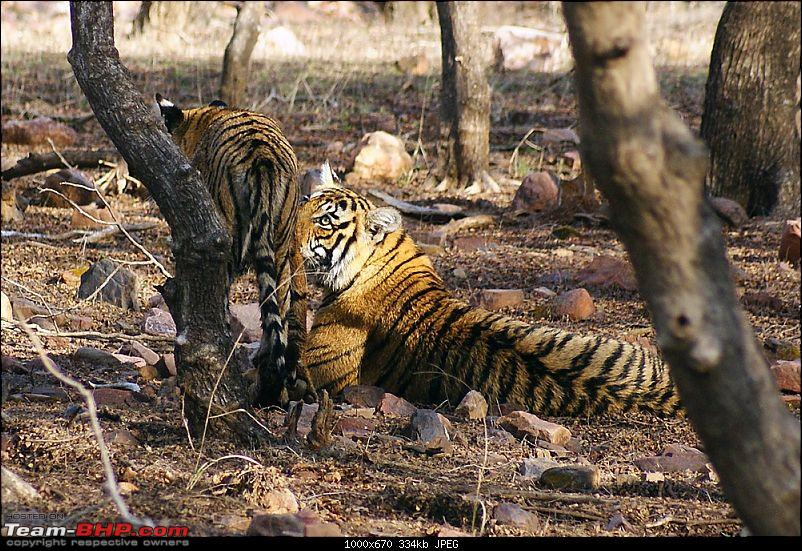 Ranthambhore : Water Hole Animal Census, tigers, forts and more....-dsc08741.jpg