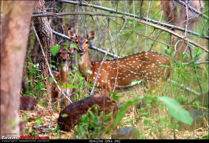 Hyderabad - Srisailam - Dornala - Kurnool.  Road pictures only-spotted-deer-1a.jpg