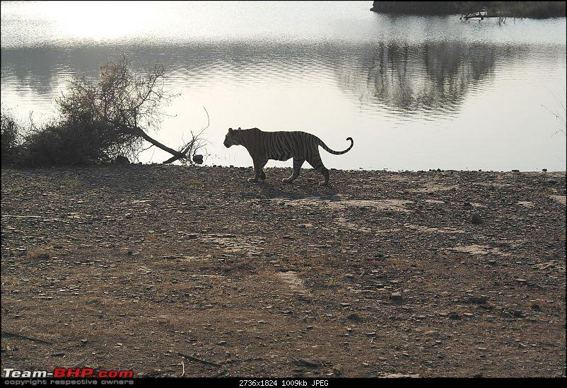 Maiden trip to the Ranthambore Tiger Reserve-rtr097.jpg