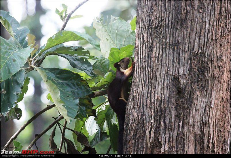 Operation Tiger: Wayanad-little-fella-kept-stealing-sweets-our-balcony.jpg This little fella kept stealing the fruits from our dining table! We loved it!<br /> <br /> <br /> <a href=