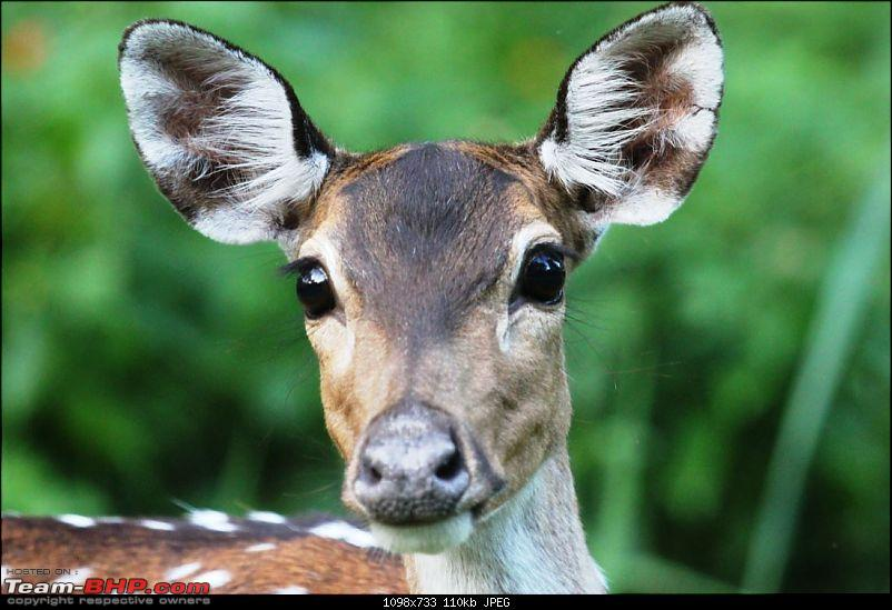 Operation Tiger: Wayanad-surprised-deer.jpg Close-up of a curious Chital<br /> <br /> <br /> <a href=