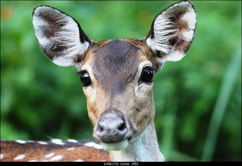 Operation Tiger: Wayanad-surprised-deer.jpg
