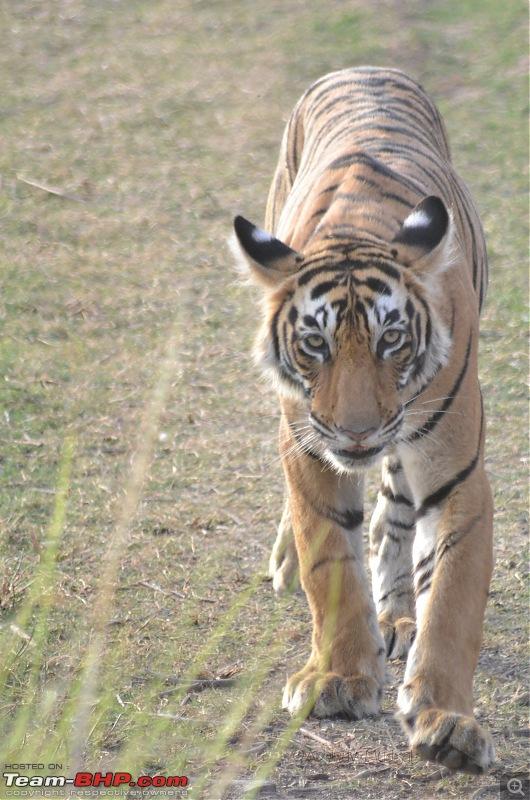 Rambling in the wild : Ranthambore, Jhalana, Bharatpur & more-dsc_0139.jpg