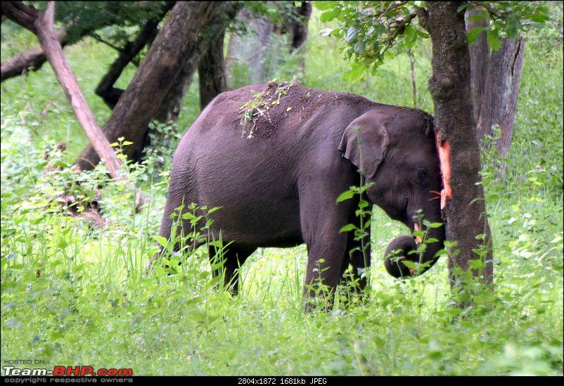 A night at the Parambikulam Tiger Reserve-day1babytusker.jpg