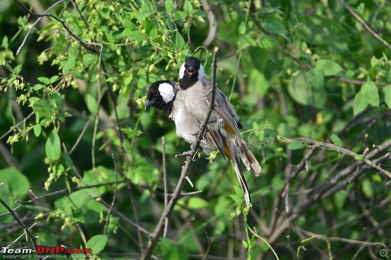 Rambling in the wild : Ranthambore, Jhalana, Bharatpur & more-05-white-eared-bulbul.jpg