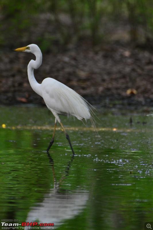 Rambling in the wild : Ranthambore, Jhalana, Bharatpur & more-06-egret.jpg