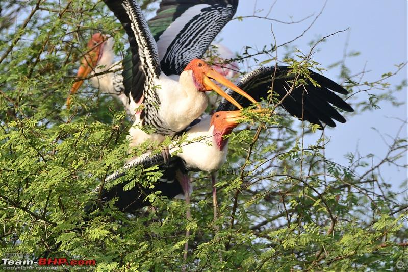 Rambling in the wild : Ranthambore, Jhalana, Bharatpur & more-25-painted-stork-mating.jpg