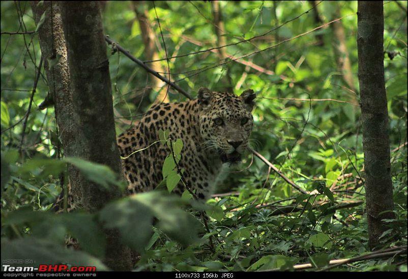 Wet Bhutan and Green Dooars-leopard.jpg