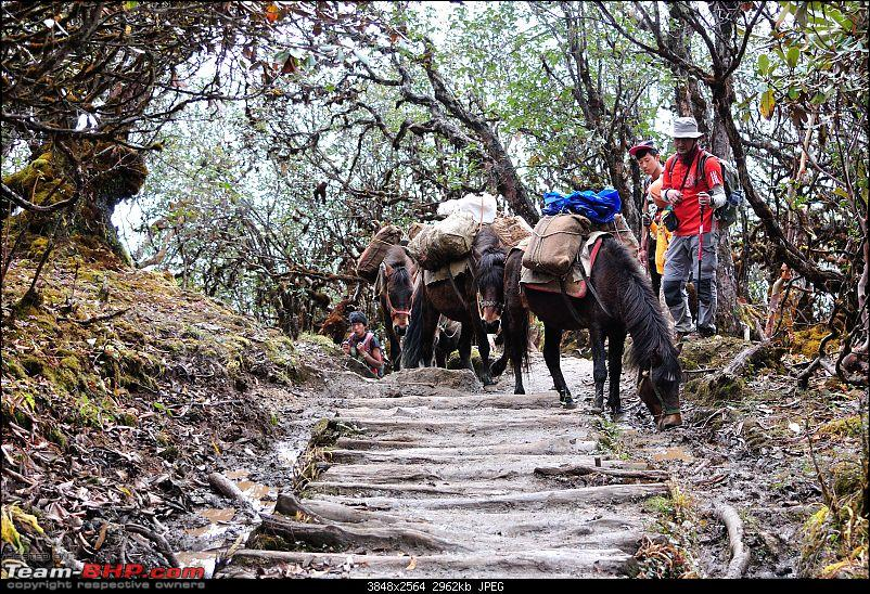 In the abode of the Himalayas - Hiking 4000 meters up to Dzongri-rhododendrontrailmalik-2.jpg