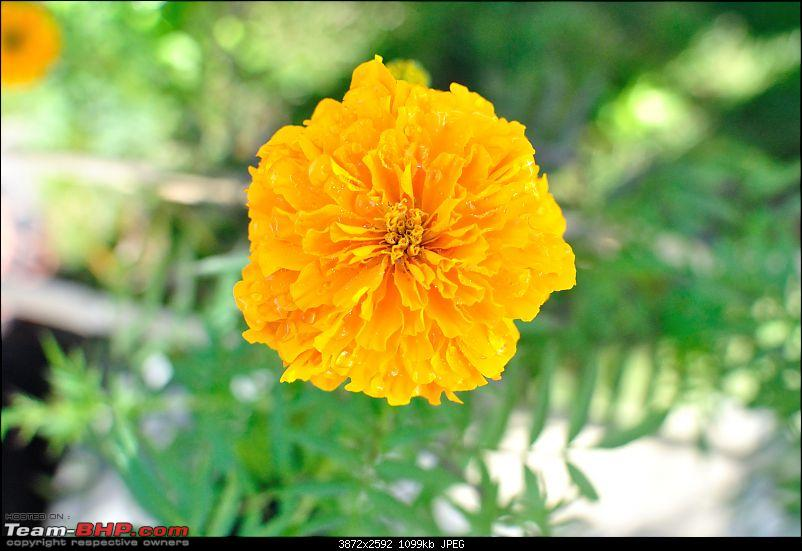 In the abode of the Himalayas - Hiking 4000 meters up to Dzongri-marigold.jpg