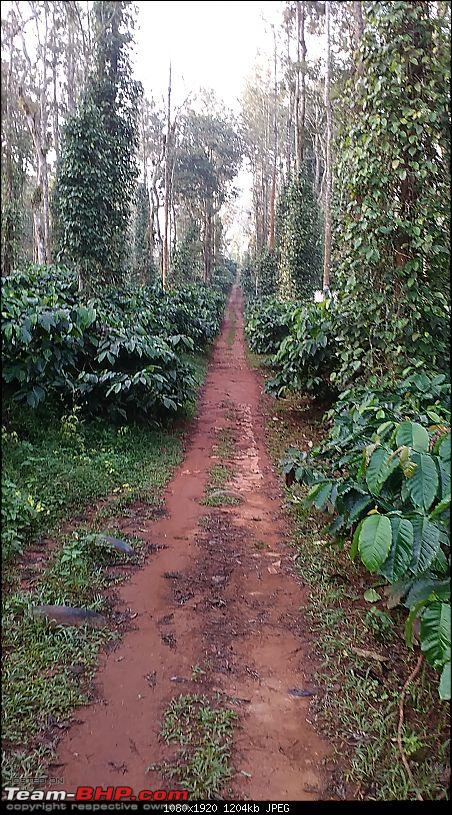 Across the plains and around the hills to drive by the sea (Virajpet, Kannur & Muzhappilangad)-coffee-platation-walk.jpg