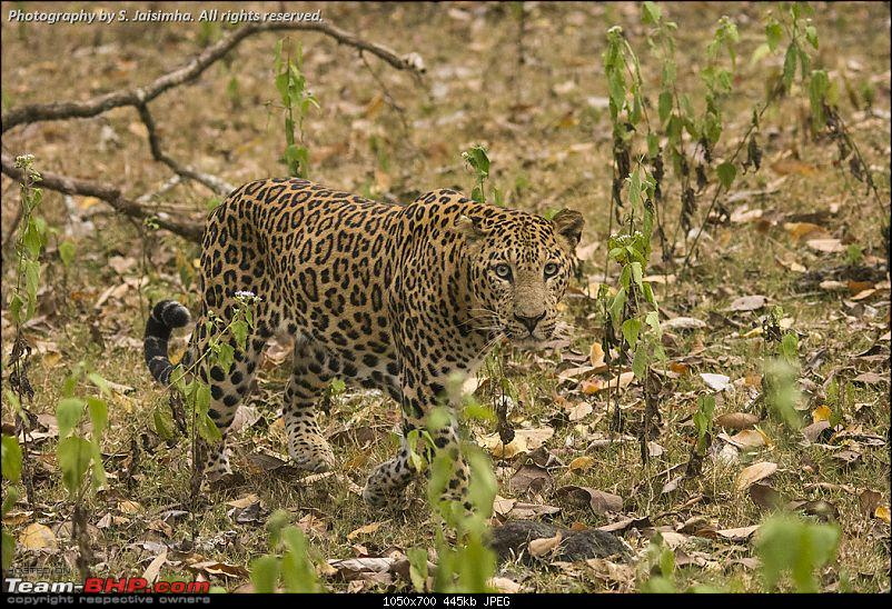 Tryst with a Leopard in Kabini-kbndec2015457.jpg
