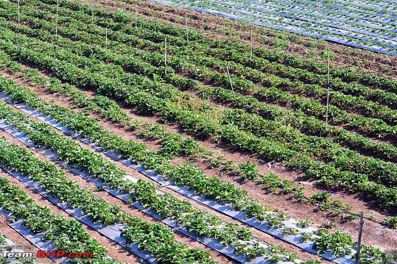 Prathamesh Farms - Great one day picnic destination from Pune-strawberry_farm2.jpg