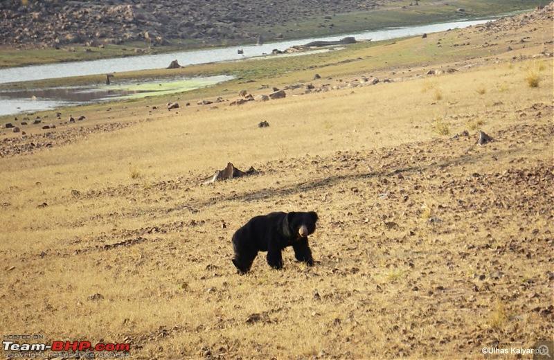 Tadoba Wilderness!-bear.jpg