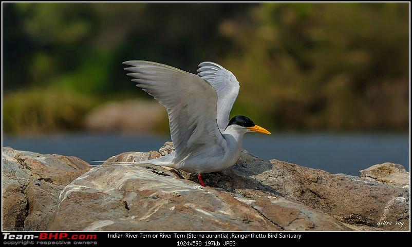 Hyderabad to Ranganathittu: In search of some migratory birds-indian-river-tern-just-river-tern-sterna-aurantia_24235185049_l.jpg
