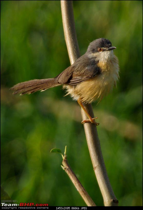 Birding around Mysore - A Photologue-ashy-prinia2.jpg