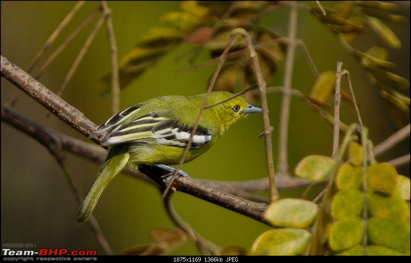 Birding around Mysore - A Photologue-common-iora1.jpg