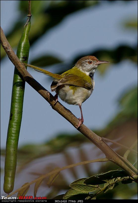 Birding around Mysore - A Photologue-common-tailorbird1.jpg