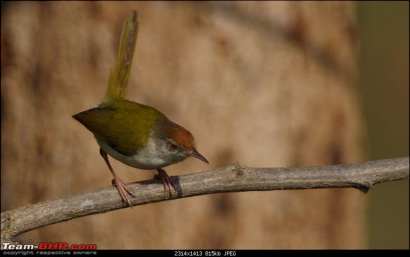 Birding around Mysore - A Photologue-common-tailorbird3.jpg