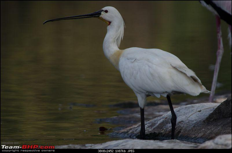 Birding around Mysore - A Photologue-eurasian-spoonbill1.jpg