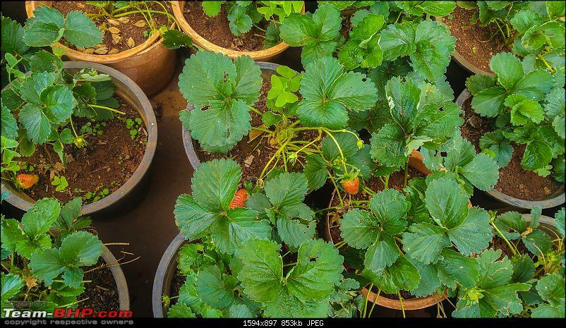 Road-Trip: Hyderabad to Mahabaleshwar-strawberry-cultivation-1.jpg