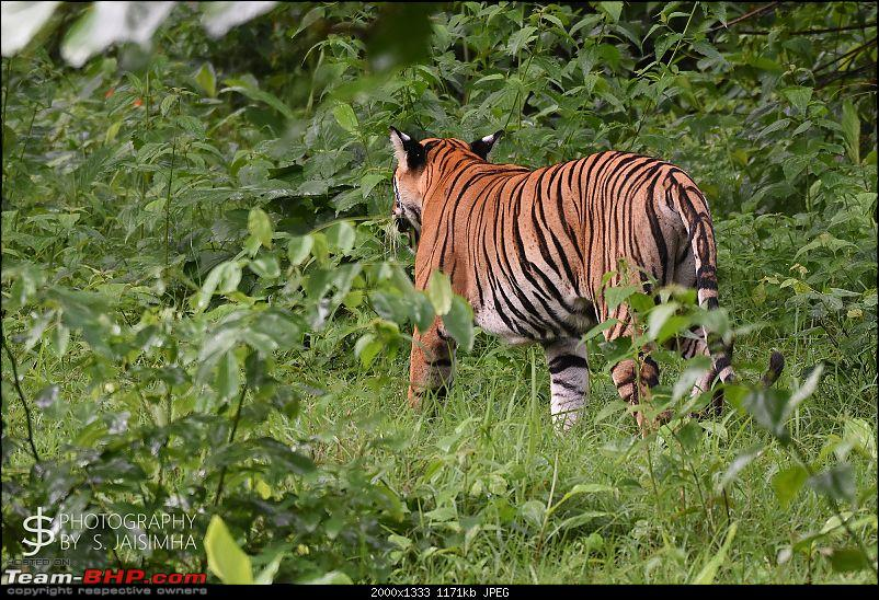 A Tigress in Kabini-kbnjun16025s.jpg