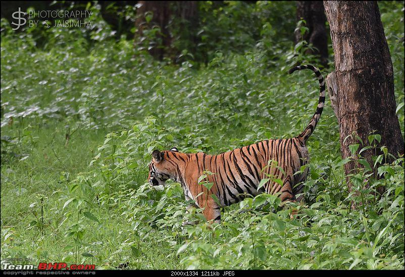 A Tigress in Kabini-kbnjun16045s.jpg