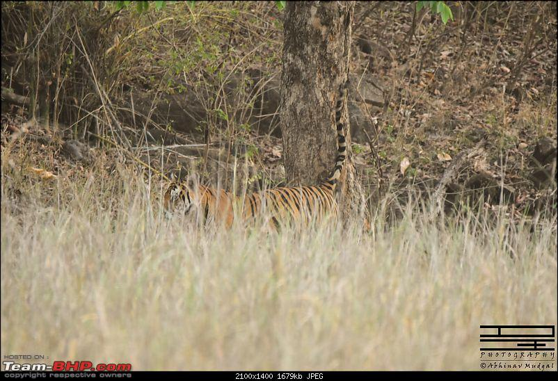 Rambling in the wild : Ranthambore, Jhalana, Bharatpur & more-tiger-1.jpg