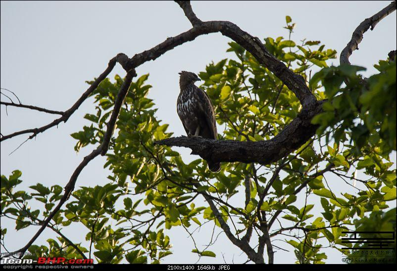 Rambling in the wild : Ranthambore, Jhalana, Bharatpur & more-hawk-eagle.jpg