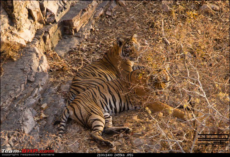 Rambling in the wild : Ranthambore, Jhalana, Bharatpur & more-avi_2609.jpg