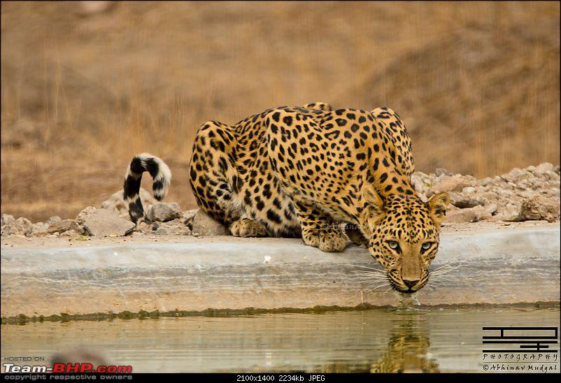 Rambling in the wild : Ranthambore, Jhalana, Bharatpur & more-avi_2696.jpg