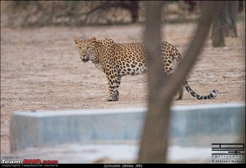 Rambling in the wild : Ranthambore, Jhalana, Bharatpur & more-avi_2844.jpg