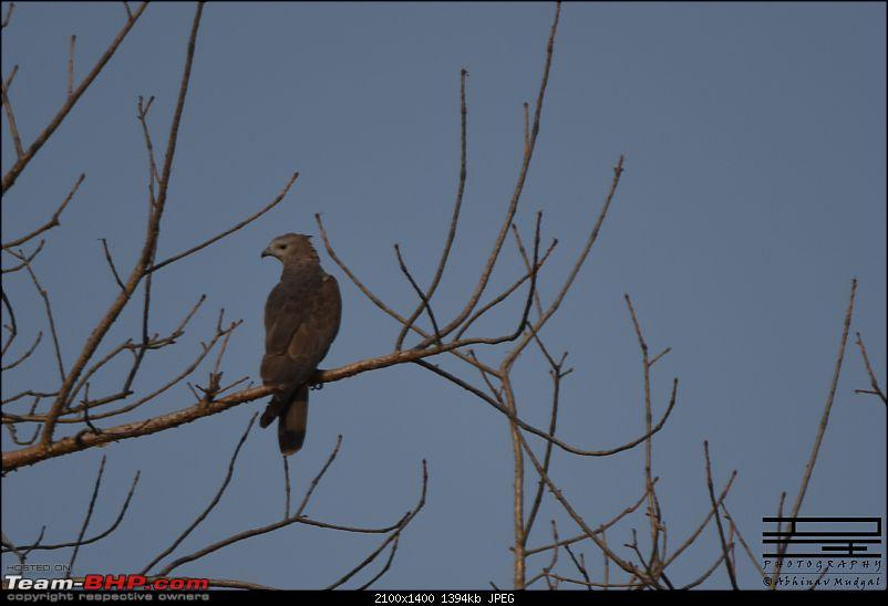 Rambling in the wild : Ranthambore, Jhalana, Bharatpur & more-hawk.jpg