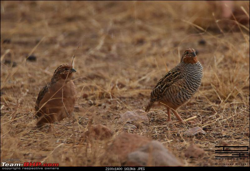 Rambling in the wild : Ranthambore, Jhalana, Bharatpur & more-quail.jpg