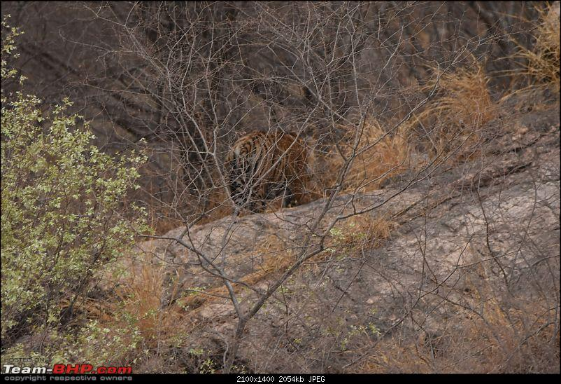 Rambling in the wild : Ranthambore, Jhalana, Bharatpur & more-avi_3512.jpg